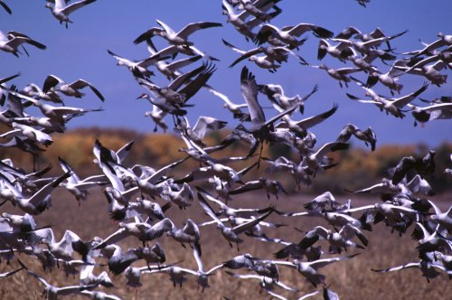 Snow Geese Taking Off Bosque Del Apache NWR New Mexico