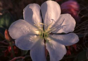 Early Morning Dwarf Evening Primrose